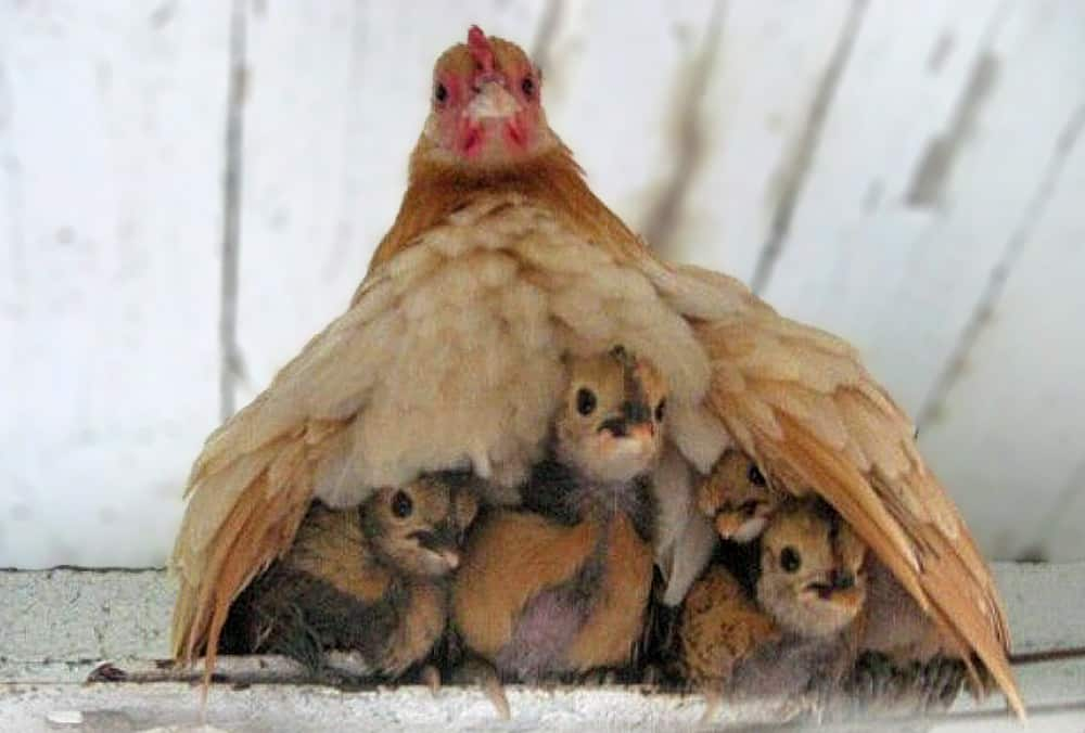 La Mère poule